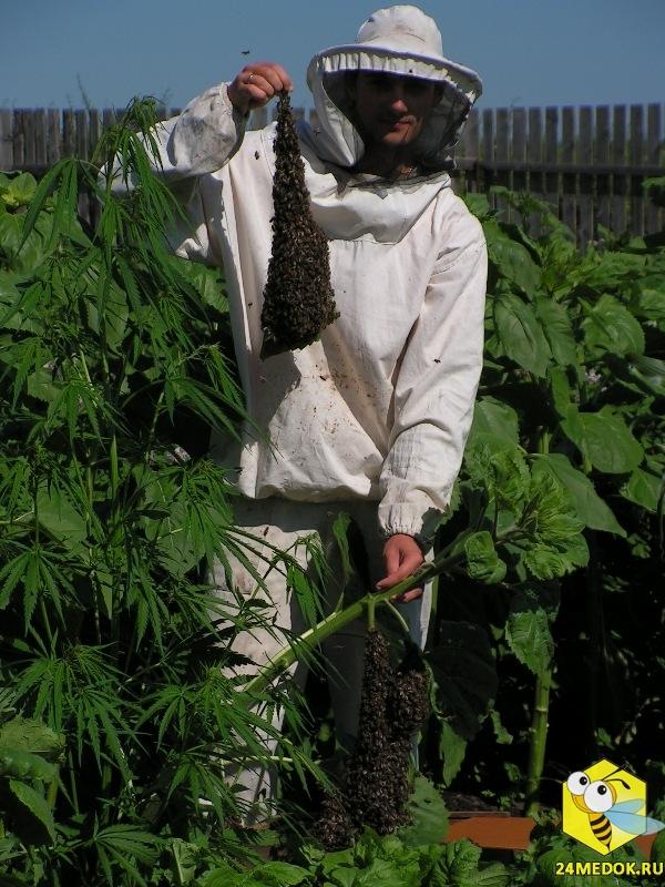 Старчевский Евгений держит рой на листе подсолнуха