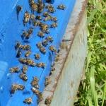 Пчелы выдувают лишнюю влагу из нектара