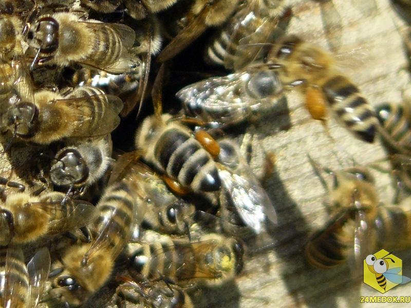 Пчела тащит прополис в улей