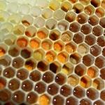 Свежие соты с пергой с чистотела(ярко-оранжевая)