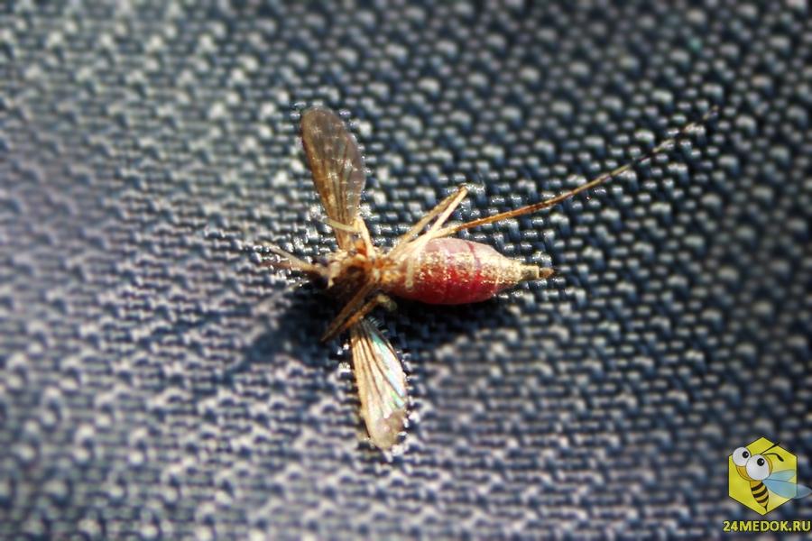Комар напился крови до смерти :)