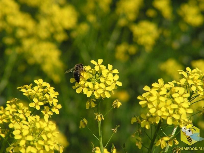 Пчела на свербиги