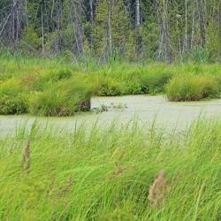 Сабельник на болоте