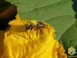 Пчела в пыльце на цветке Тыквы