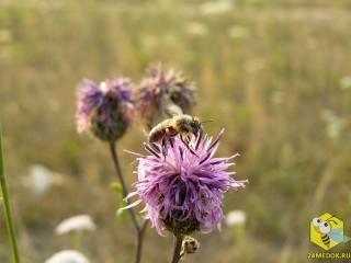 Пчела на Васильке Скабиозовом