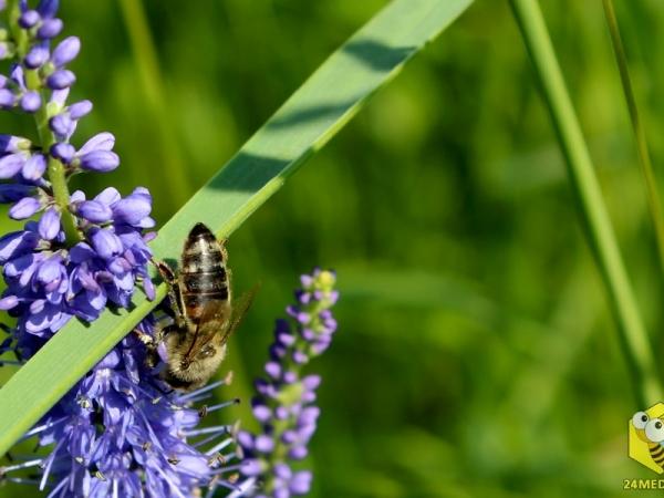 Пчела на Веронике Седой