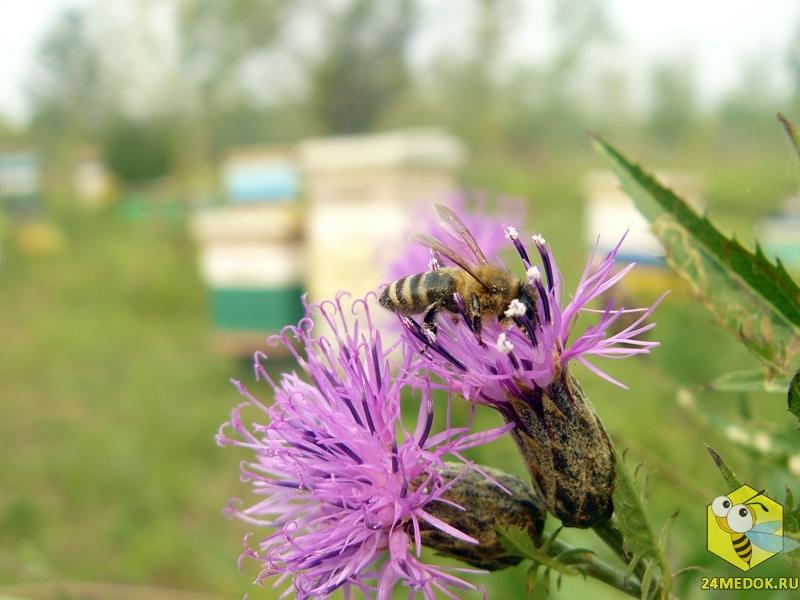 Пчела на серпухе