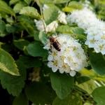 Пчела на таволге