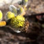 Пчела на вербе 2