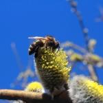 Среднерусская пчела на вербе 2
