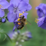 Пчела на синюхе голубой