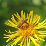 Пчела на Девясиле Иволистном