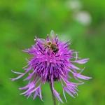 Пчела на васильке шероховатом