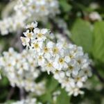 Цветки черемухи