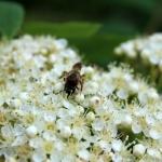 Дикая пчела на цветке рябины