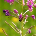 Пчела на Иван-чае 2