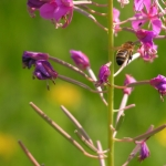Пчела на Иван-чае 3