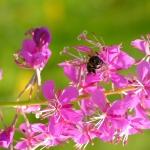 Пчела на Иван-чае 6