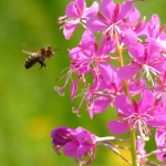 Пчела на Иван-чае 5