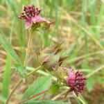 Сабельник болотный, лапчатка болотная - Comarum palustre L.