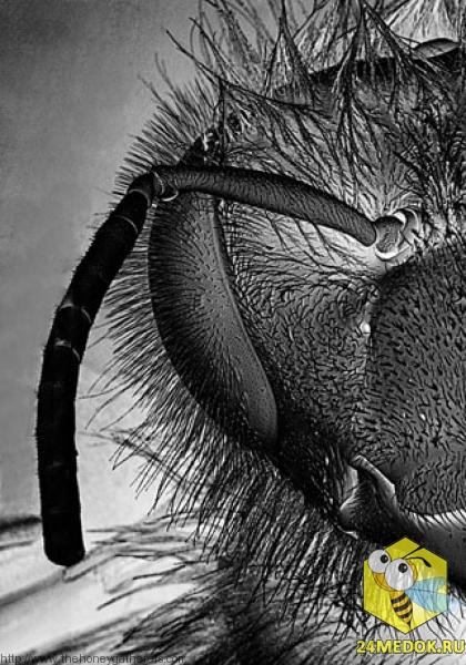 Фронтальный вид пчелы. Увеличение в 22 раза.  Тело пчелы покрыто волосками, они особенно помогают при сборе пыльцы. Кстати это делает Apis MELLIFERA (Пчелу медоносную) отличным опылителей.