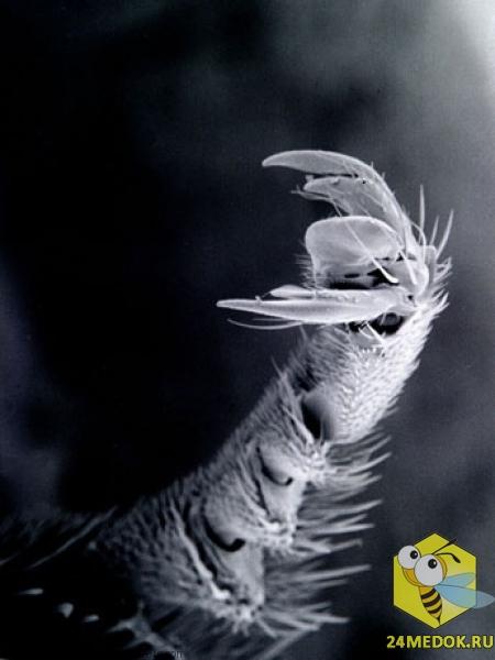 Деталь задней ноги пчелы. Увеличение в 70 раз. На снимке видно крючки, которыми пчелы цепляются за предметы.