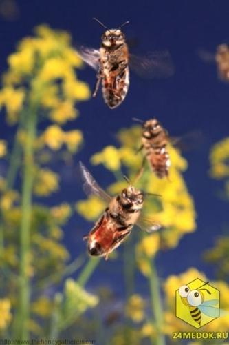 Пчелы-сборщицы летят в свой улей над полем рапса. Мышцы пчелы позволяют ей махать крыльями от 400 до 500 раз в секунду, развивая скорость до 25-30 км/час, неся при этом нектар, прополис либо обножки. Пчела совершает 10-15 вылетов в день. Сборщицы нектара до 150. в течении жизни пчела 5 дней находится в пути, пролетая более 800км.