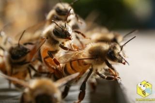 Свесившись из улья, пчелы висят друг на друге, чтобы лучше пропускать поток воздуха, который они гонят в улей в результате взмахивания крыльями. Пчелы циркулируют воздух, когда температура в улье слишком высокая.