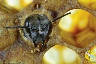 Используя свои мощные челюсти, это пчела только что прогрызла восковую крышечку, которая защищает будущую пчелу в процессе её превращения из личинки в нимфу.