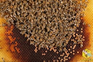 Личинки будущих пчел развиваются в ячейках, где маткой были заложены яйца. Расплод находится в центре улья, пчелы заботяться о сохранении постоянной температуры, сокращая свои грудные мышцы, которые повыщают температуру тела, а следовательно и гнезда. Посредине гнезда стоят рамки с пчелиной пергой (пыльцой). Колонии требуется от 30 до 40 кг пыльцы, что бы варастить молодых пчел.  На каждой пасеке есть запасы отстроенных сотов, которые сильно облегчают жизнь пчел.