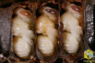 В течение восьми дней после откладывания маткой яйца личинка превращается в куколку. Через ещё 12 дней формируется тело молодой пчелы. Кормят личинку первые 6 дней, затем ячейку запечатывают восковыми крышечками. Для превращения личинки в куколку пчелы-воспитанницы должны держать постоянную температуру в гнезде +35 градусов, это их основная задача.
