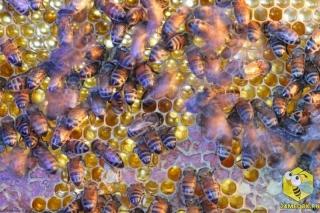 Оставленные без присмотра рамки с мёдом во время слабого взятка или в безвзяточный период могут спровоцировать воровство на пасеке. Пчелы становятся агрессивнее, их возбуждение передается всем пчелам на пасеке. На помощь приходит пчеловод. Он либо уносит соты в закрытое помещение либо накрывает их влажной тряпкой. Во время воровства на пасеке сильная семья может ограбить слабую.