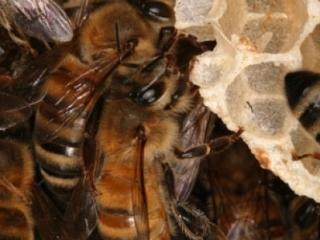 Строительство пчелиного гнезда. Пчелы используют 8-9 килограммов меда и пыльцы, чтобы произвести один килограмм воска. Воск вырабатывается восемью брюшными железами. Железы выпускают крошечные капельки, размером - 0,2 мм. Рамка из 80000 ячеек требуется 80000 часов работы и состоит из 991 000 капелек воска. На пасеках должны быть запасы суши (отстроенных рамок). Они сильно облегчают жизнь пчел