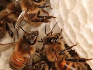 Пчелы отстраивают из воска ячейки гексагональной формы. Толщина стенок 0,073 мм. Усики помогают пчелам строить геометрически правильную сотовую ячейку.