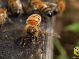 В сильную жару или когда пчелы собрали большое количество нектара, пчелы махают крыльями (вентилируют), чтобы снизить температуру в улье. Нектар содержит 50% влаги. В результате вентилирования влага постепенно уходит. Влажность мёда становится 15 - 17%. Пчелы запечатывают его восковыми крышечками.
