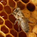 Сразу после рождения, молодые пчелы, еще не полностью пигментированные, резервы меда подходят им для первого приема пищи. Основная пища молодых пчел это пыльца. Она поможет полностью сформировать организм пчелы.   Ежегодно пчелиная семья съедает 15-30 кг перги  и 60-80 кг мёда.