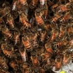 Строительство сотов. Пчелы цепляются друг за друга своими ножками, чтобы образовывать длинные цепочки. Они образуют гроздь вокруг будущего сота, так пчелам легче строить свежие соты. Капли воска выделяются железами, на брюшке пчелы. Затем каждая пчела в своем рту замешивает воск со своей слюной и тщательно растирает его. Полученную строительную смесь пчела соединяет с сотом.