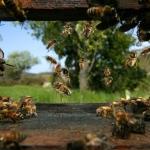 На фотографии изображены пчелы-сборщицы, которые возвращаются в улей с обножкой. Обножку пчелы обычно собирают утром. С разных цветков пчелы собирают пыльцу разного цвета. Пчела весом около 100 мг. Она способна нести до 70 мг груза за один вылет (40 мг нектара и 30 мг пыльцы). За свою жизнь пчела посещает более 25000 различных цветков.  Для того, чтобы собрать 10 кг мёда 1 пчела должна совершить от 800000 до 1 млн. вылетов.