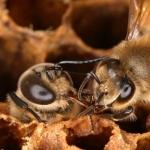 Пчела встречает трутня, во время его рождения. Пчелы будут кормить трутней непосредственно из своих уст, чтобы новорожденный набрался сил и вылез из ячейки. Невооруженным глазом видно, разницу в размерах пчелы и трутня. Глаз рабочей пчелы имеет 4500 шестигранников, а глаз трутня 7500.  Улучшенная острота зрения у трутня необходима ему, чтобы находить матку во время спаривания.