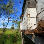 Пчелы на пути к улью во время обильного выделения нектара.