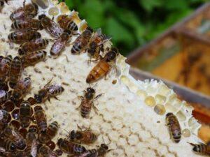 Пчелиная матка (королева)