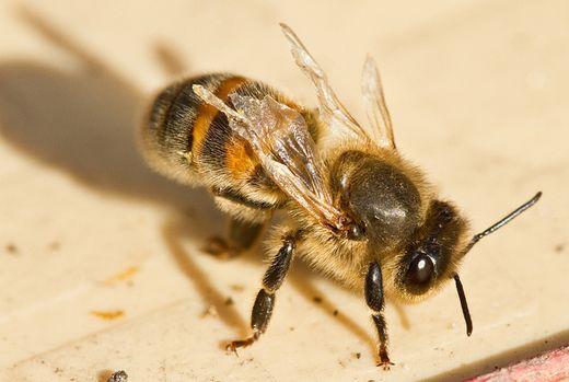 Деформация крыла у пчелы
