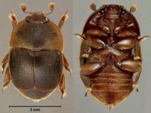 Малый ульевой жук (Aethina tumida)