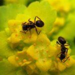Муравьи помогают пчелам искать нектар