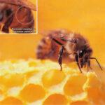 Восковая чешуйка на восковом зеркальце у пчелы