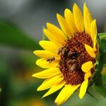 Пчелы на подсолнухе