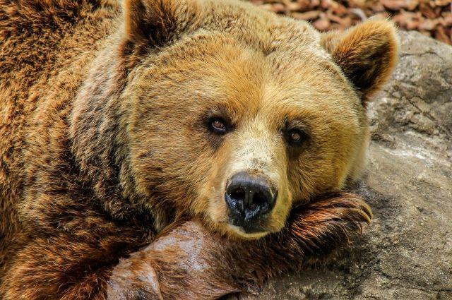 В Сочи медведи разоряют пасеки и даже воруют коней