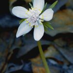Весенник звездчатый - Shibateranthis stellata (Msxim.) Nakai.