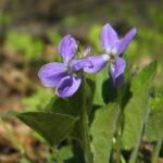 Фиалка холмовая – Viola collina Bess