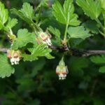 Крыжовник - Crossularia acicularis Spadi